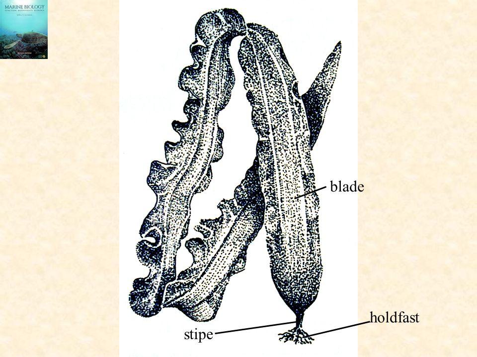 holdfast stipe blade