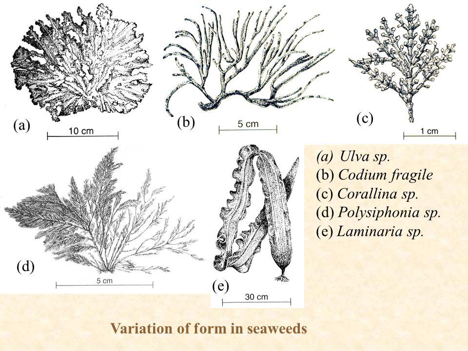 (a) (b) (c) (d) (e) Variation of form in seaweeds (a)Ulva sp. (b) Codium fragile (c) Corallina sp. (d) Polysiphonia sp. (e) Laminaria sp.