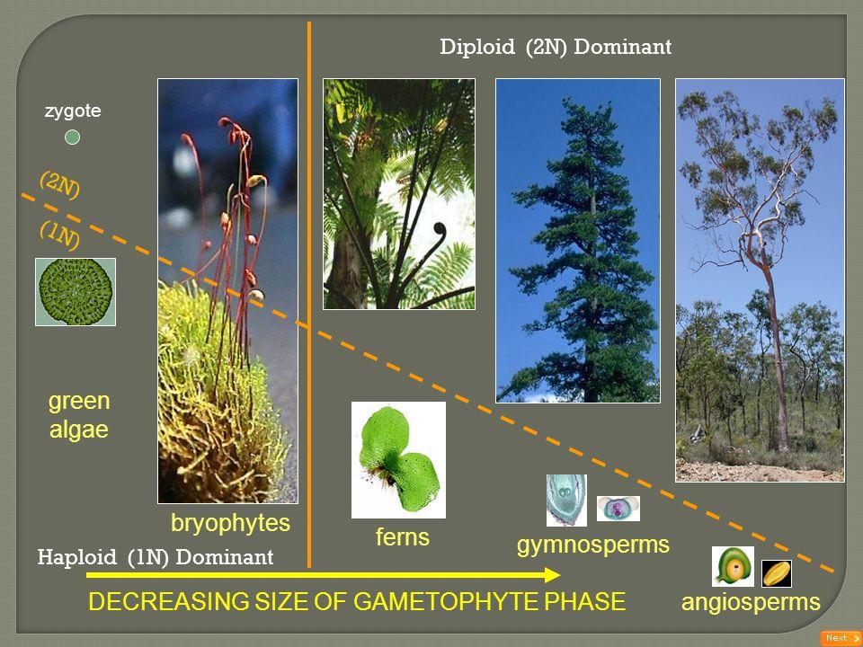zygote ferns gymnosperms angiospermsDECREASING SIZE OF GAMETOPHYTE PHASE green algae bryophytes Haploid (1N) Dominant Diploid (2N) Dominant