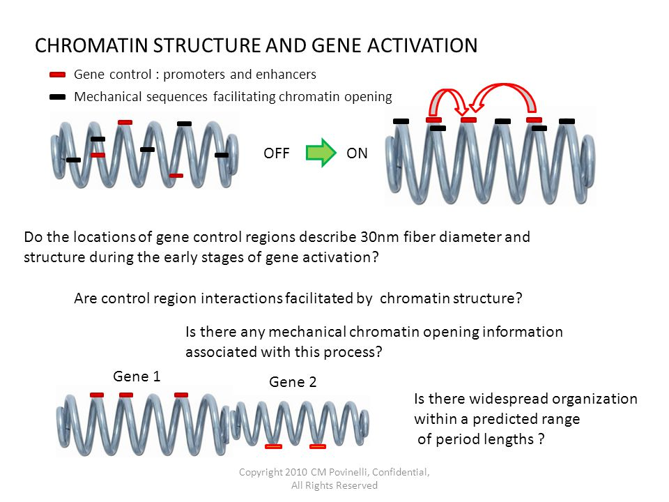 Do the locations of gene control regions describe 30nm fiber diameter and structure during the early stages of gene activation.