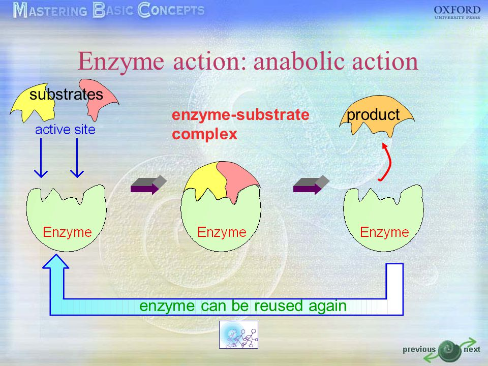 Enzyme action: catabolic action enzyme-substrate complex products enzyme can be reused again substrate
