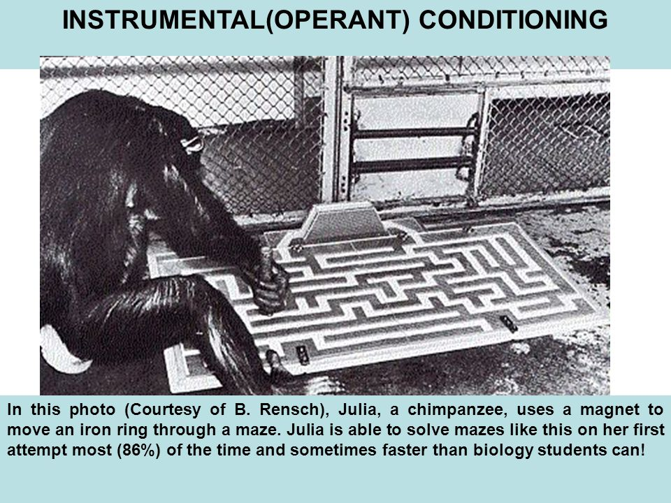 INSTRUMENTAL(OPERANT) CONDITIONING In this photo (Courtesy of B.