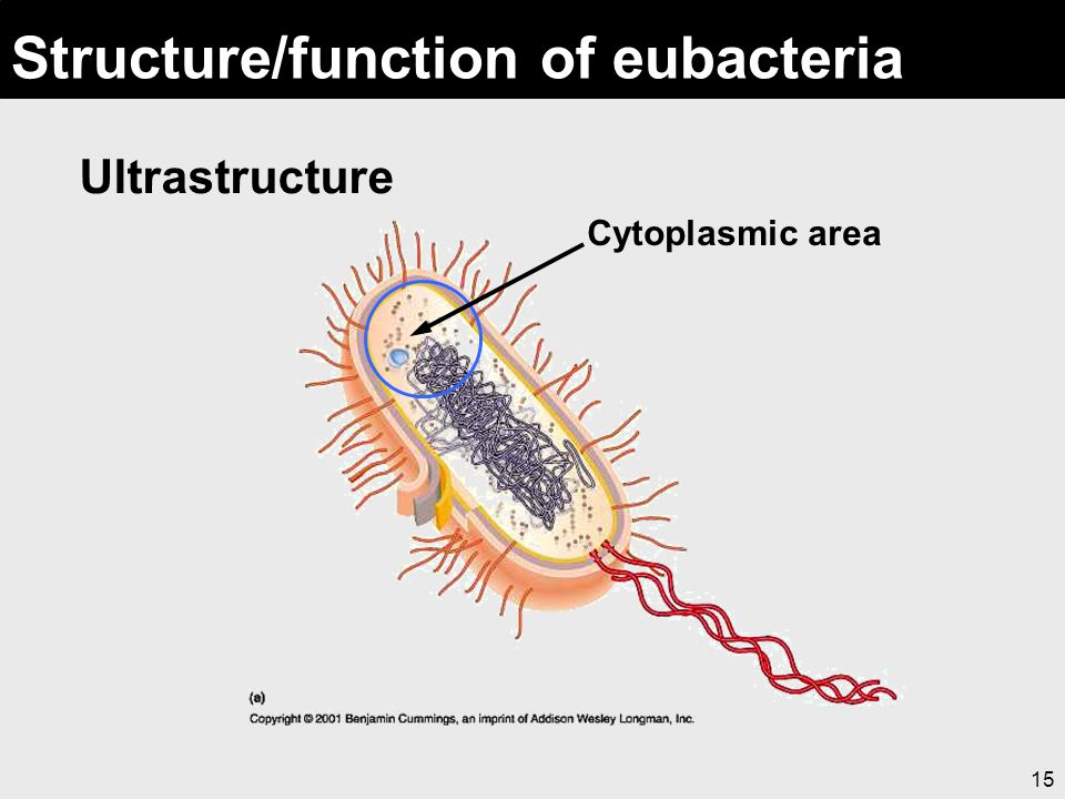 15 Structure/function of eubacteria Ultrastructure Cytoplasmic area