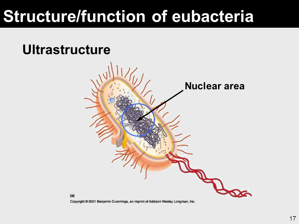 17 Structure/function of eubacteria Ultrastructure Nuclear area