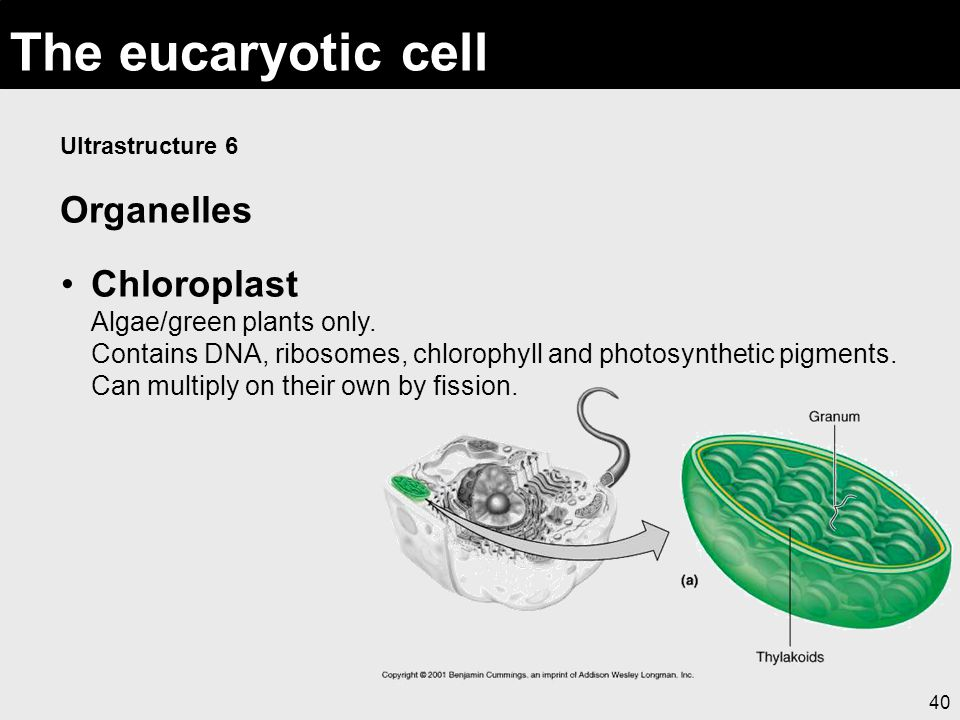 40 The eucaryotic cell Ultrastructure 6 Organelles Chloroplast Algae/green plants only. Contains DNA, ribosomes, chlorophyll and photosynthetic pigmen