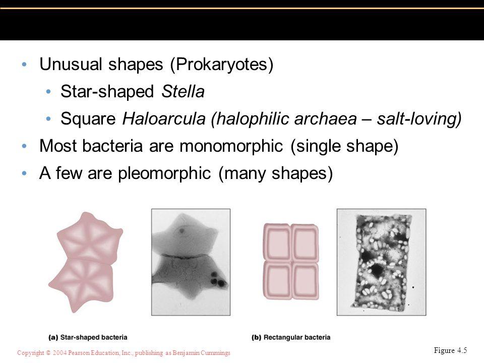 Copyright © 2004 Pearson Education, Inc., publishing as Benjamin Cummings Unusual shapes (Prokaryotes) Star-shaped Stella Square Haloarcula (halophili