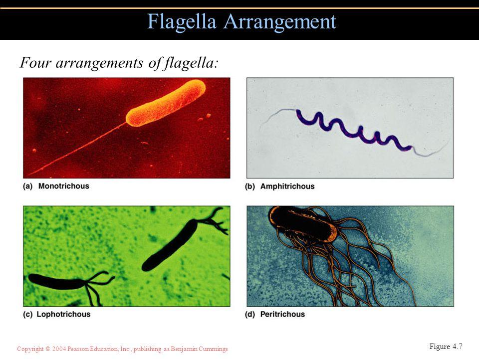 Copyright © 2004 Pearson Education, Inc., publishing as Benjamin Cummings Flagella Arrangement Figure 4.7 Four arrangements of flagella: