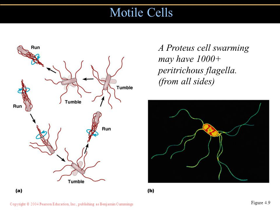 Copyright © 2004 Pearson Education, Inc., publishing as Benjamin Cummings Motile Cells Figure 4.9 A Proteus cell swarming may have 1000+ peritrichous