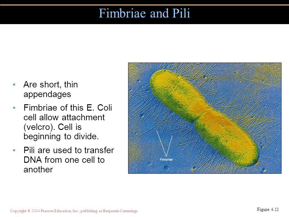 Copyright © 2004 Pearson Education, Inc., publishing as Benjamin Cummings Fimbriae and Pili Are short, thin appendages Fimbriae of this E. Coli cell a