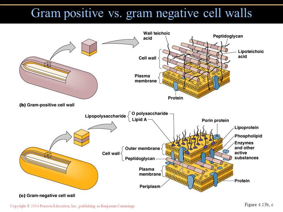Copyright © 2004 Pearson Education, Inc., publishing as Benjamin Cummings Figure 4.13b, c Gram positive vs. gram negative cell walls