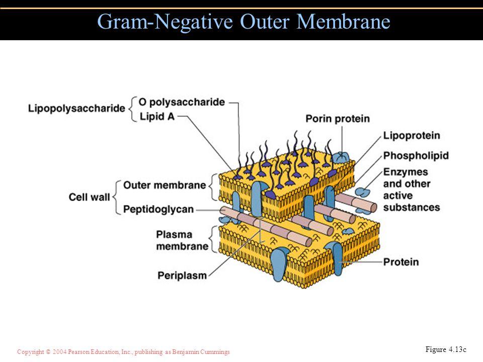 Copyright © 2004 Pearson Education, Inc., publishing as Benjamin Cummings Gram-Negative Outer Membrane Figure 4.13c