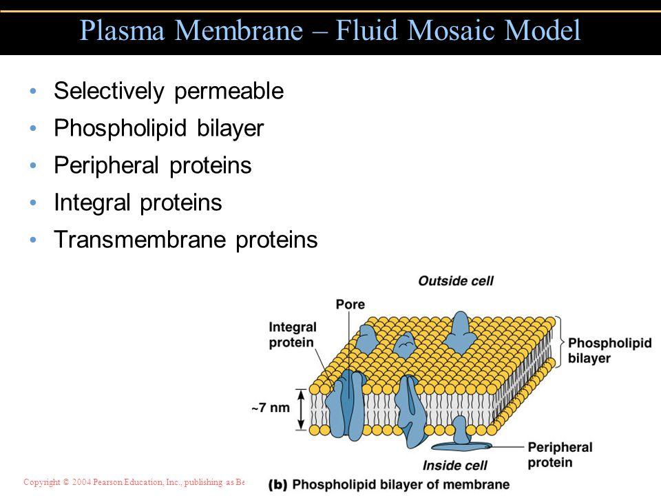 Plasma Membrane – Fluid Mosaic Model Selectively permeable Phospholipid bilayer Peripheral proteins Integral proteins Transmembrane proteins Figure 4.