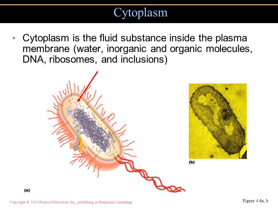 Copyright © 2004 Pearson Education, Inc., publishing as Benjamin Cummings Cytoplasm is the fluid substance inside the plasma membrane (water, inorgani