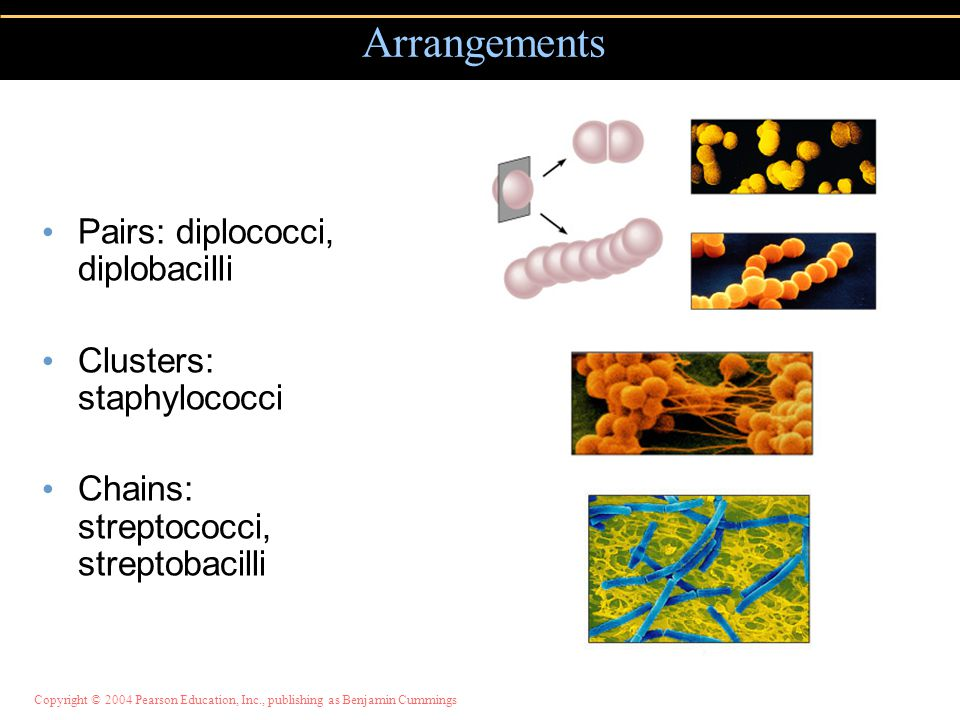 Copyright © 2004 Pearson Education, Inc., publishing as Benjamin Cummings Pairs: diplococci, diplobacilli Clusters: staphylococci Chains: streptococci