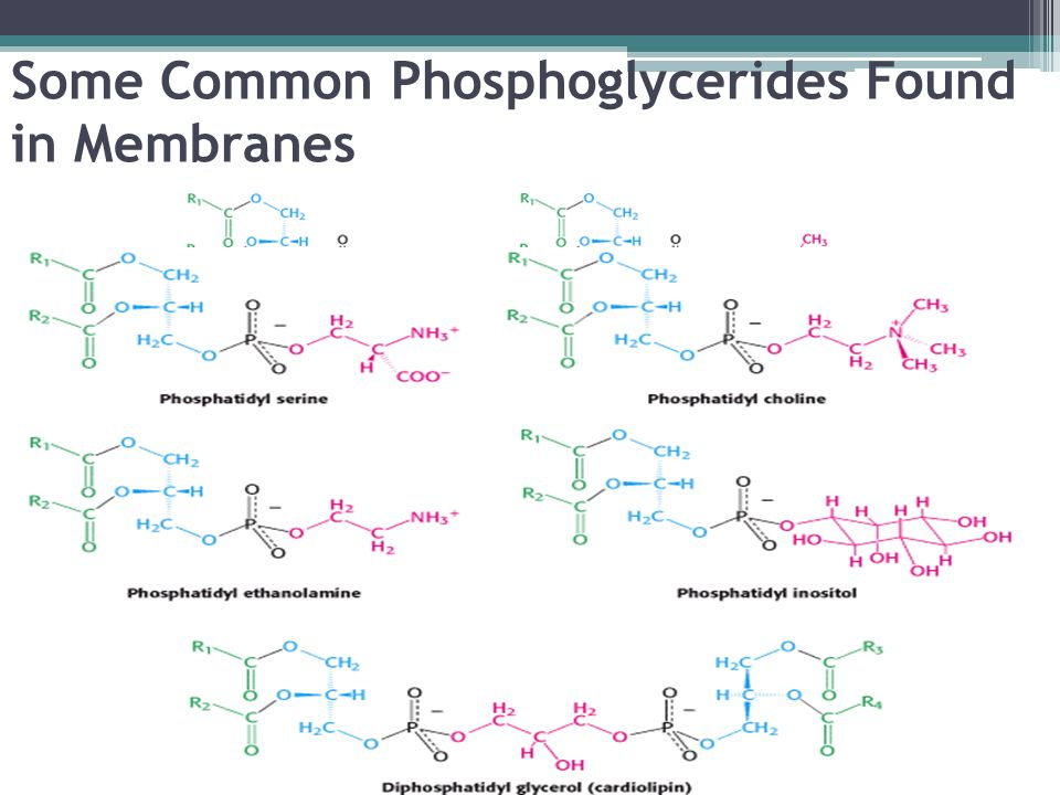Some Common Phosphoglycerides Found in Membranes