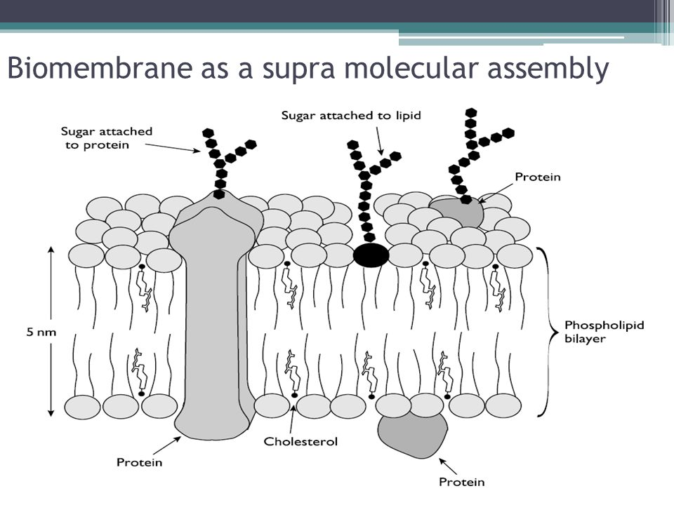 Biomembrane as a supra molecular assembly