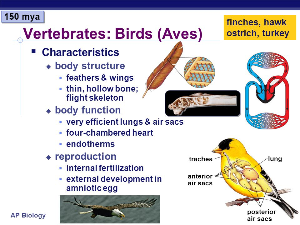 AP Biology Vertebrates: Reptiles Characteristics body structure dry skin, scales, armor body function lungs for gas exchange thoracic breathing; negat