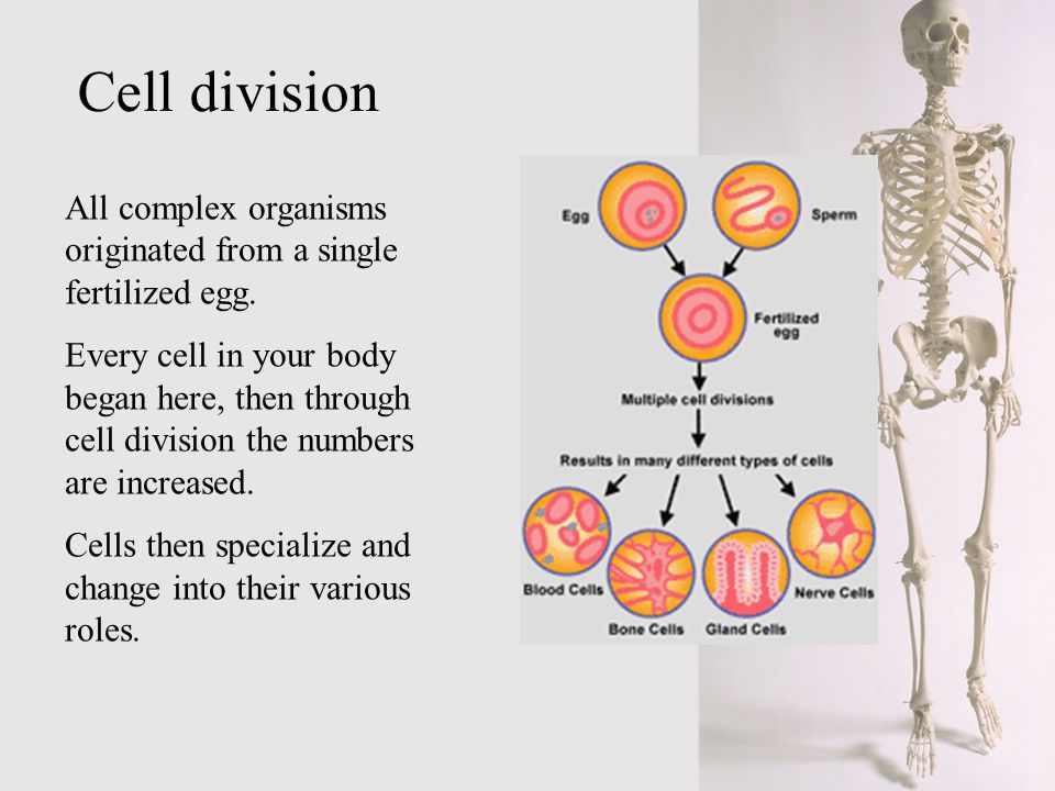 All complex organisms originated from a single fertilized egg. Every cell in your body began here, then through cell division the numbers are increase