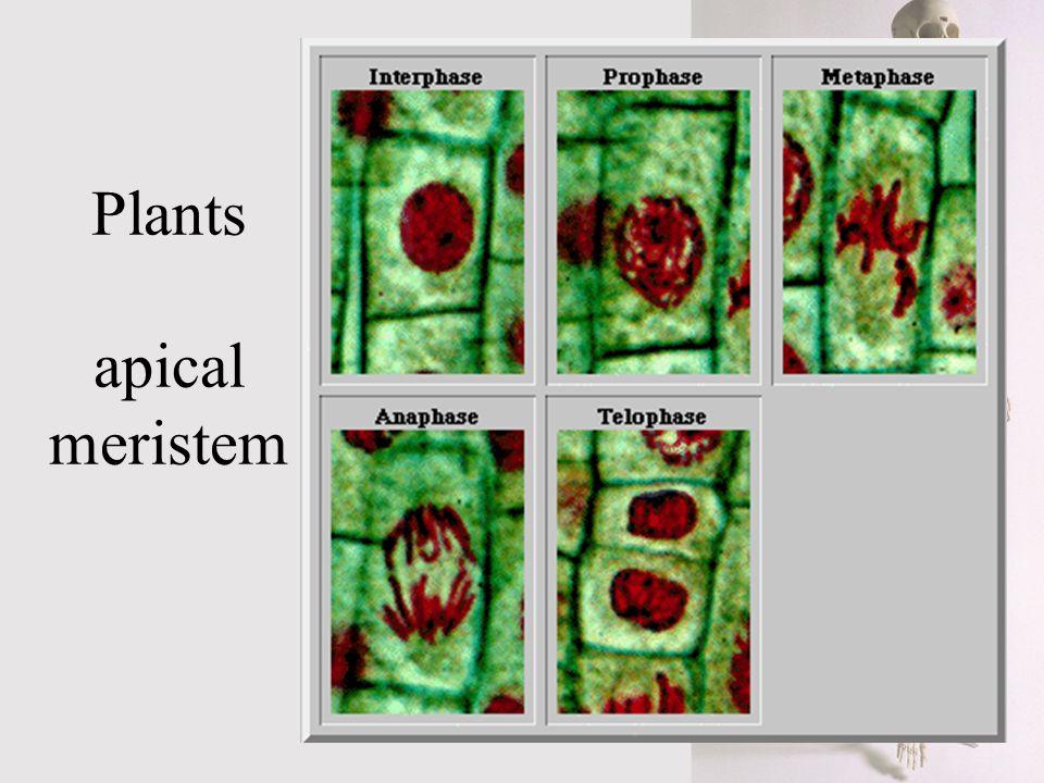 Plants apical meristem