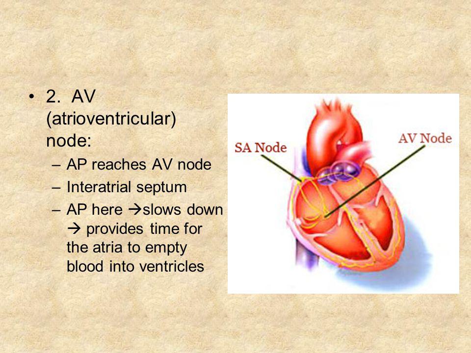 2. AV (atrioventricular) node: –AP reaches AV node –Interatrial septum –AP here slows down provides time for the atria to empty blood into ventricles