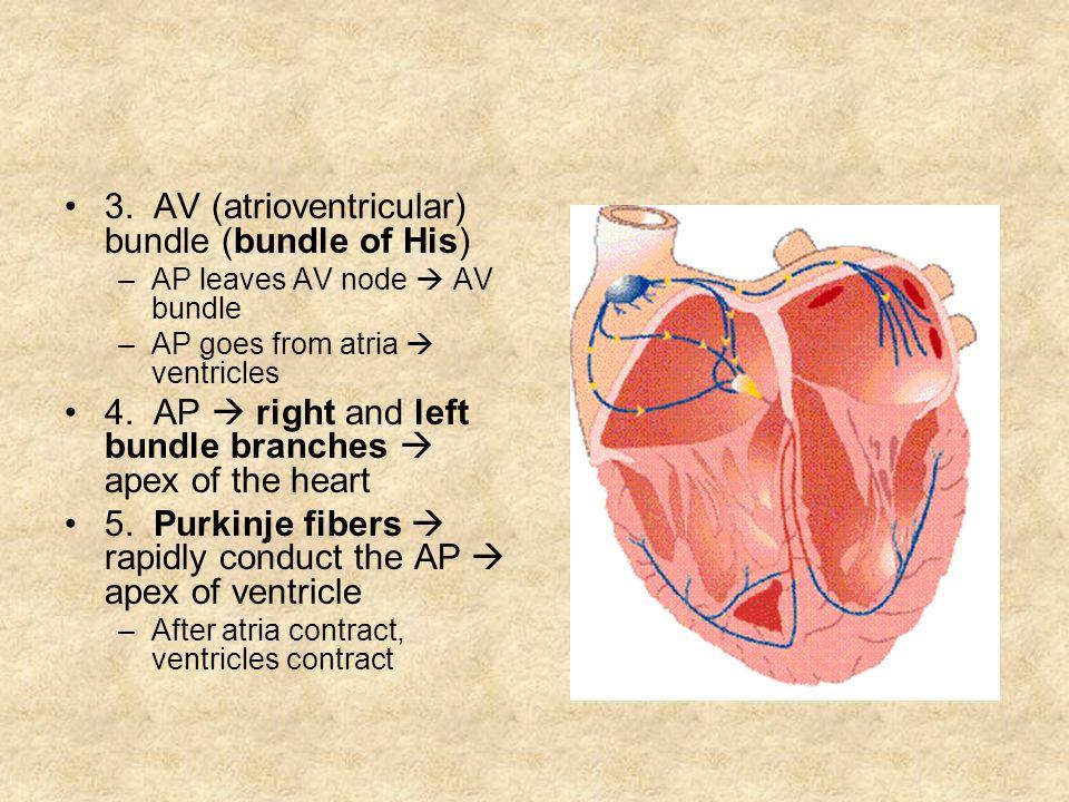 3. AV (atrioventricular) bundle (bundle of His) –AP leaves AV node AV bundle –AP goes from atria ventricles 4. AP right and left bundle branches apex