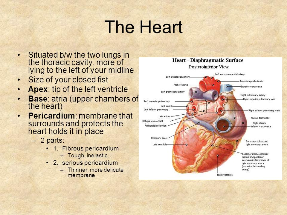 The Heart Situated b/w the two lungs in the thoracic cavity, more of lying to the left of your midline Size of your closed fist Apex: tip of the left ventricle Base: atria (upper chambers of the heart) Pericardium: membrane that surrounds and protects the heart holds it in place –2 parts: 1.