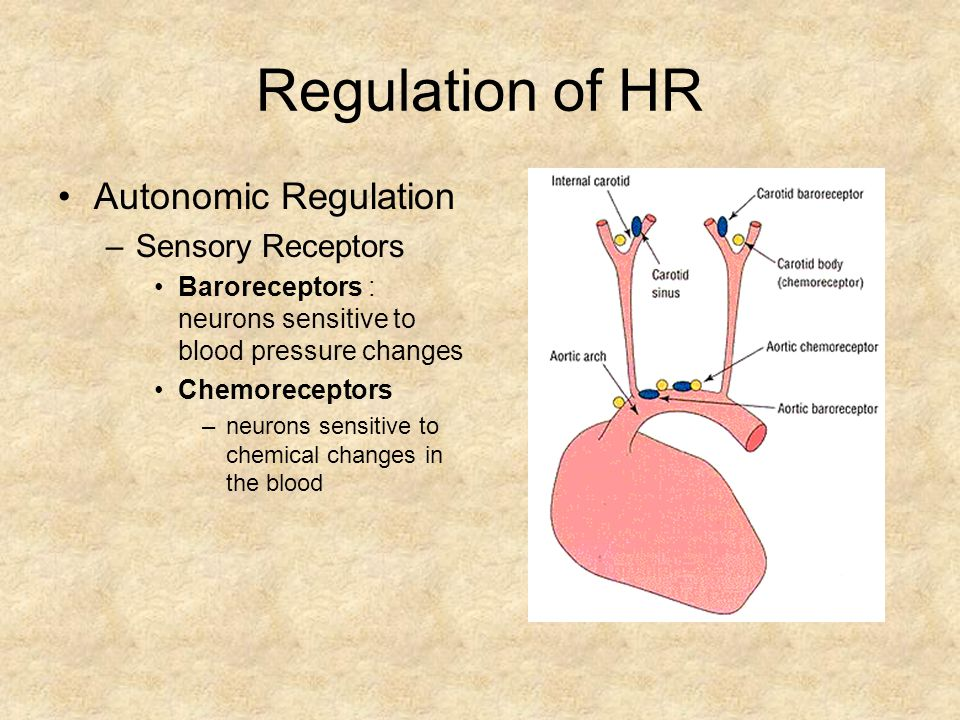 Regulation of HR Autonomic Regulation –Sensory Receptors Baroreceptors : neurons sensitive to blood pressure changes Chemoreceptors –neurons sensitive to chemical changes in the blood