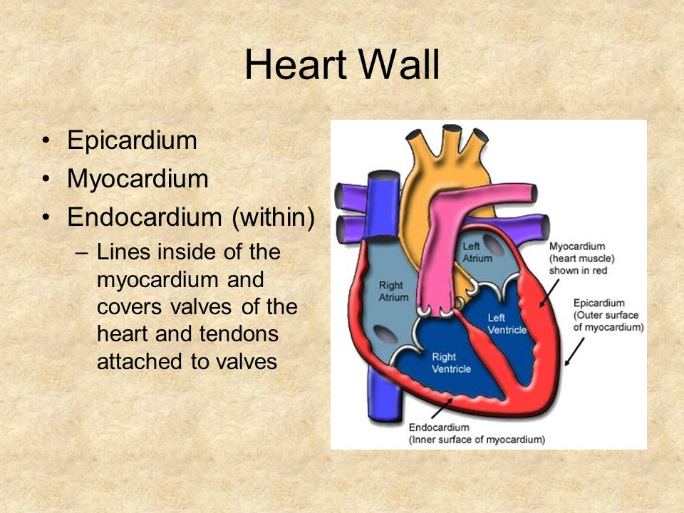Heart Wall Epicardium Myocardium Endocardium (within) –Lines inside of the myocardium and covers valves of the heart and tendons attached to valves