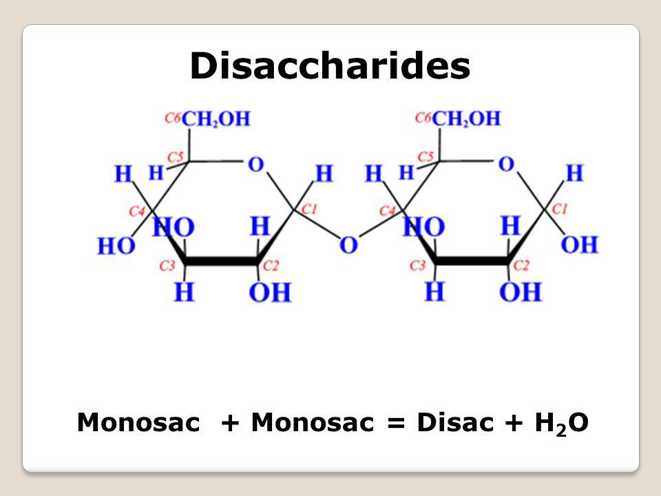 Disaccharides Monosac + Monosac = Disac + H 2 O