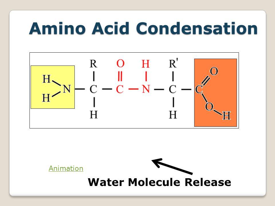 Amino Acid Condensation Animation Water Molecule Release