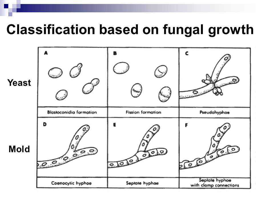 Classification based on fungal growth Yeast Mold