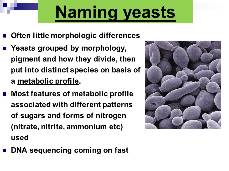 Naming yeasts Often little morphologic differences Yeasts grouped by morphology, pigment and how they divide, then put into distinct species on basis