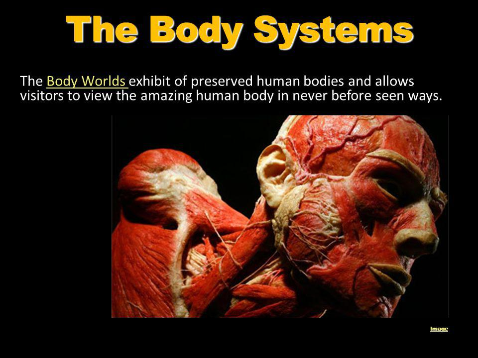 The Body Systems The Body Worlds exhibit of preserved human bodies and allows visitors to view the amazing human body in never before seen ways.Body W