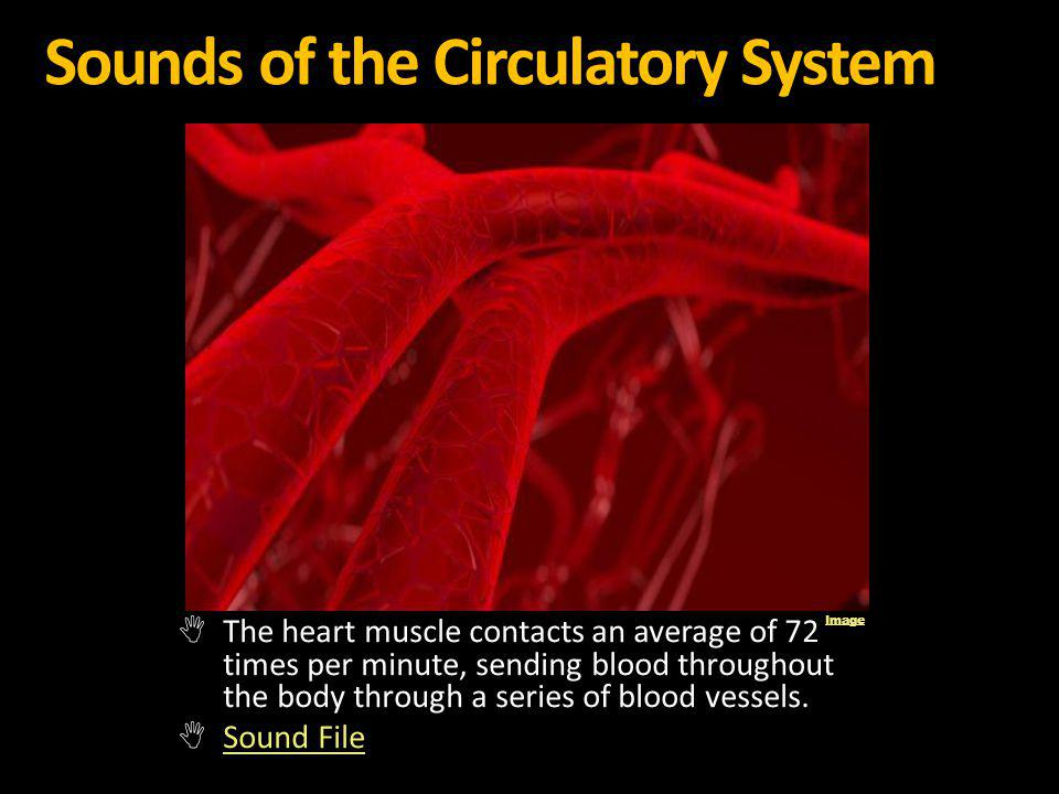 Sounds of the Circulatory System The heart muscle contacts an average of 72 times per minute, sending blood throughout the body through a series of bl