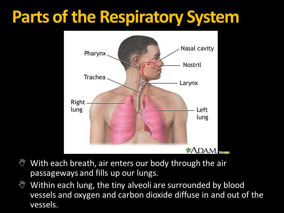 Parts of the Respiratory System With each breath, air enters our body through the air passageways and fills up our lungs. Within each lung, the tiny a