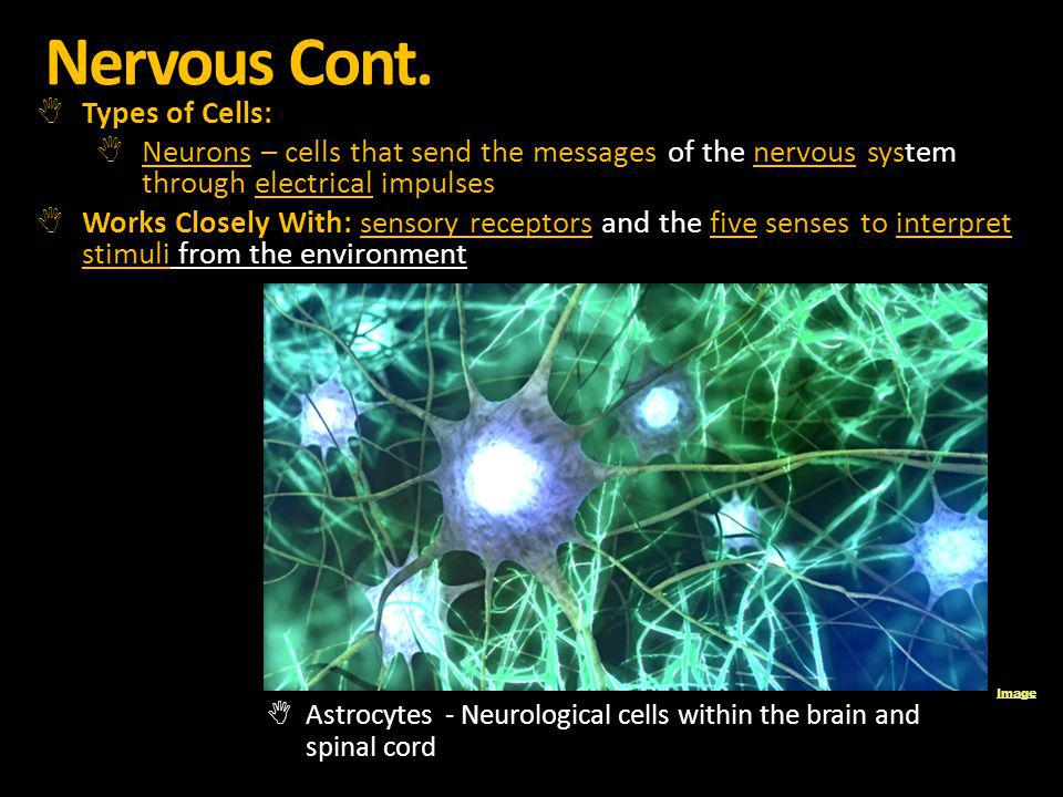 Nervous Cont. Types of Cells: Neurons – cells that send the messages of the nervous system through electrical impulses Works Closely With: sensory rec