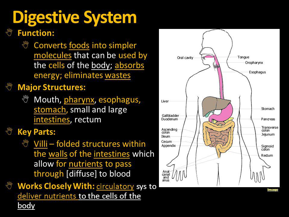 Digestive System Function: Converts foods into simpler molecules that can be used by the cells of the body; absorbs energy; eliminates wastes Major St