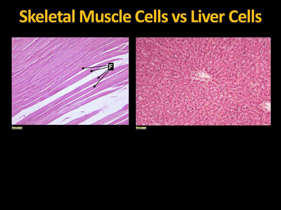 Skeletal Muscle Cells vs Liver Cells Image