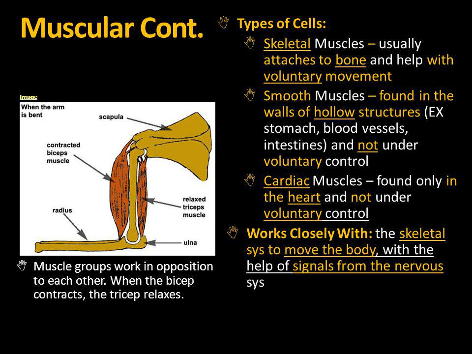 Muscular Cont. Types of Cells: Skeletal Muscles – usually attaches to bone and help with voluntary movement Smooth Muscles – found in the walls of hol