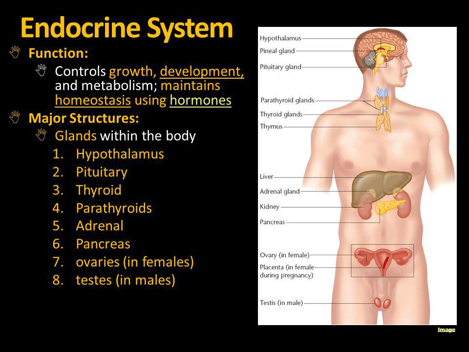 Endocrine System Function: Controls growth, development, and metabolism; maintains homeostasis using hormoneshormones Major Structures: Glands within