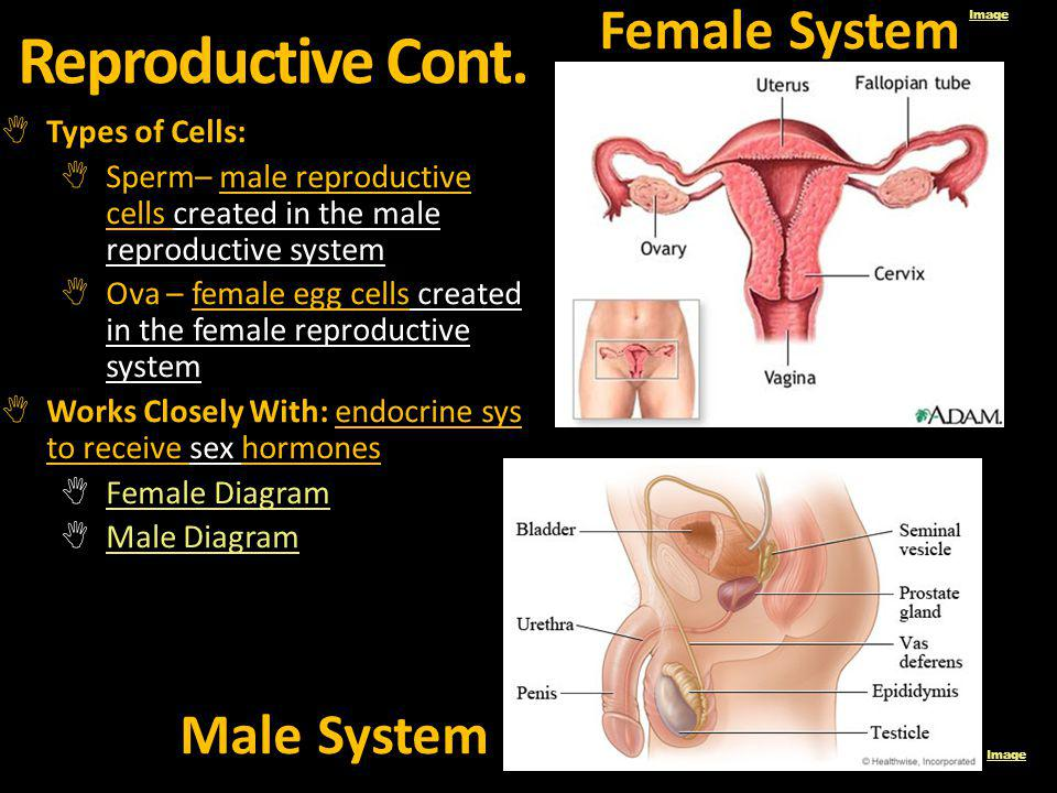 Reproductive Cont. Types of Cells: Sperm– male reproductive cells created in the male reproductive system Ova – female egg cells created in the female