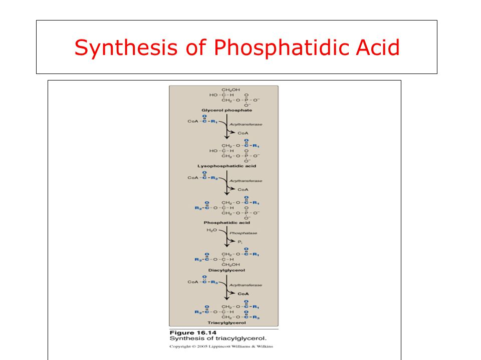 Synthesis of Phosphatidic Acid