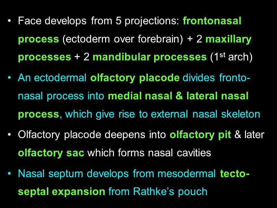 Face develops from 5 projections: frontonasal process (ectoderm over forebrain) + 2 maxillary processes + 2 mandibular processes (1 st arch) An ectode