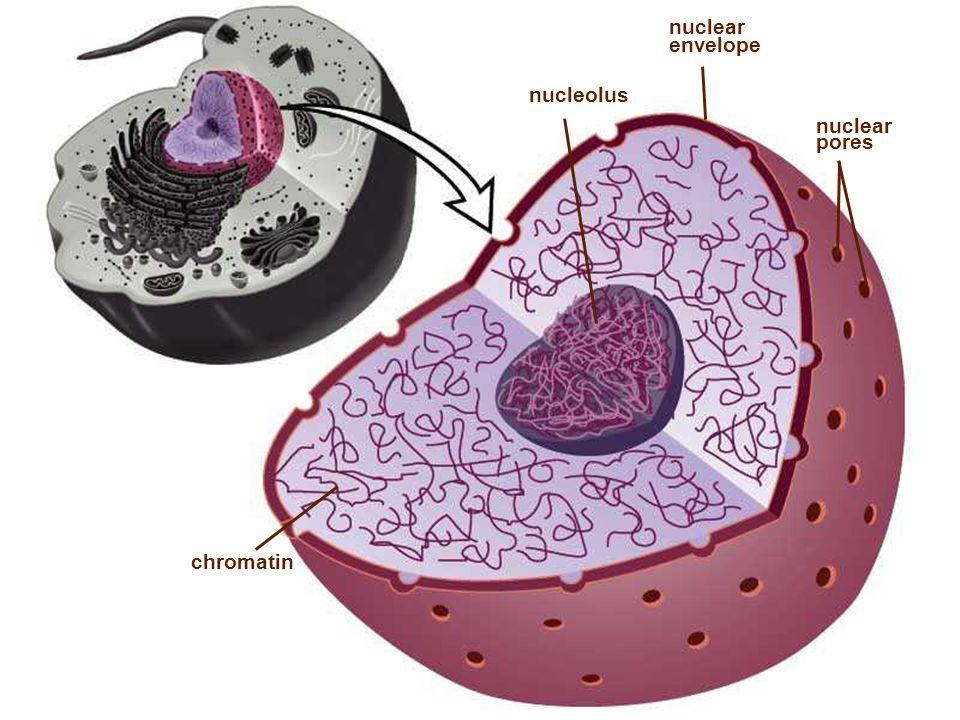 nuclear pores chromatin nucleolus nuclear envelope