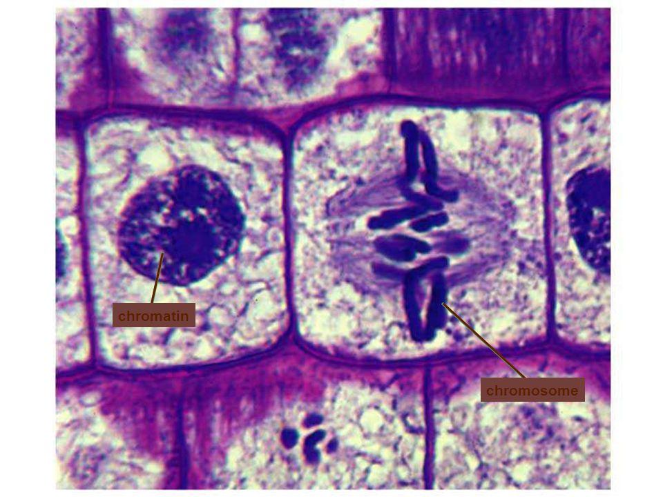chromosome chromatin