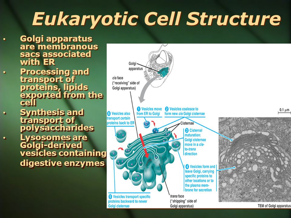 Eukaryotic Cell Structure Golgi apparatus are membranous sacs associated with ER exported from the cell Processing and transport of proteins, lipids e