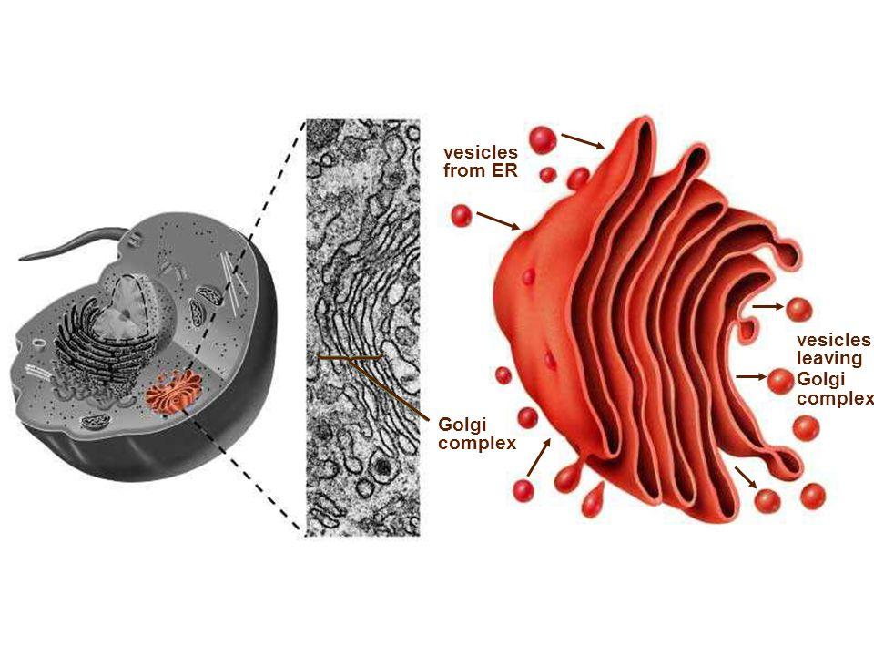 Golgi complex vesicles from ER vesicles leaving Golgi complex