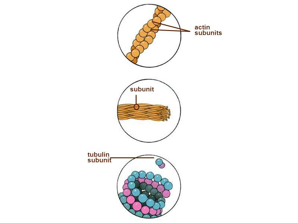 tubulin subunit actin subunits subunit