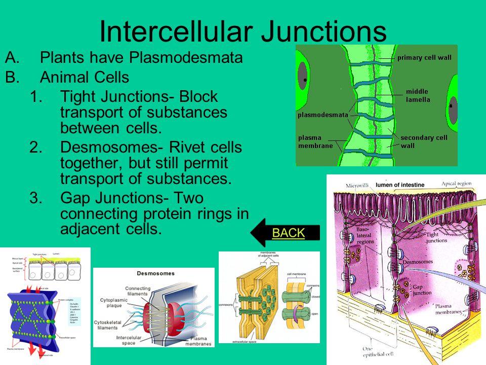 Intercellular Junctions A.Plants have Plasmodesmata B.Animal Cells 1.Tight Junctions- Block transport of substances between cells. 2.Desmosomes- Rivet