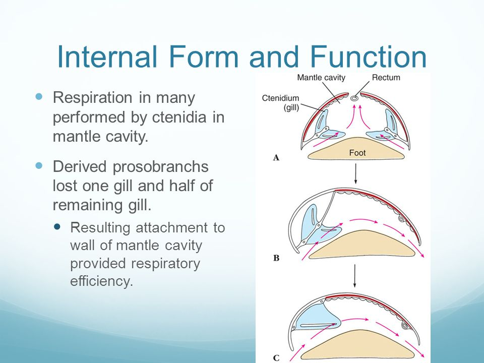 Internal Form and Function Respiration in many performed by ctenidia in mantle cavity.